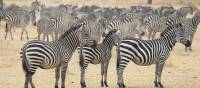 A large zeal of zebras in Tarangire National Park | Kyle Super