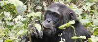 A male chimp in Kabale Forest National Park | Ian Williams