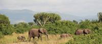 Family of African Elephants wandering Uganda plains | Ayla Rowe