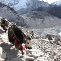 Yaks on the trail trekking towards Everest Base Camp. | Ayla Rowe