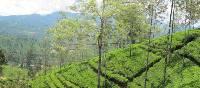 Local tea plantations, Sri Lanka | Fiona Windon